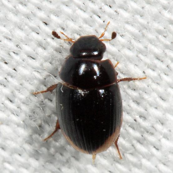 Hydrophilid - Cercyon praetextatus