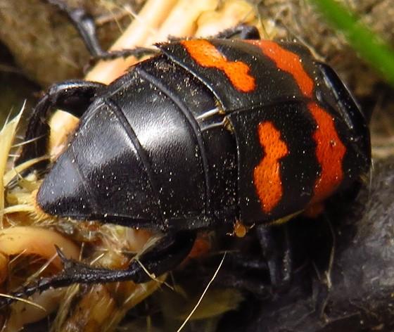 beetle - Nicrophorus sayi