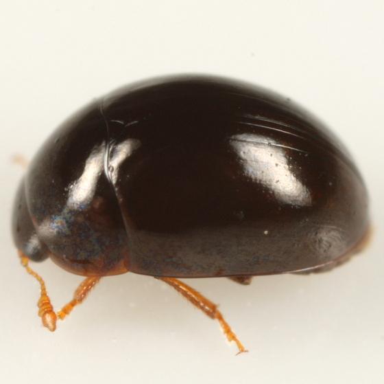 Little black marsh beetle - Olibrus