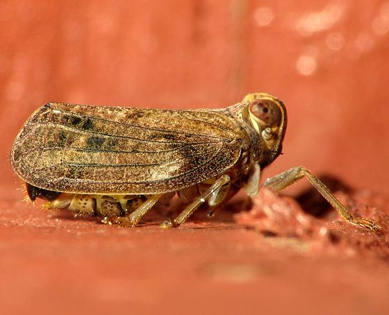 Planthopper - Delphacid? - Thionia bullata