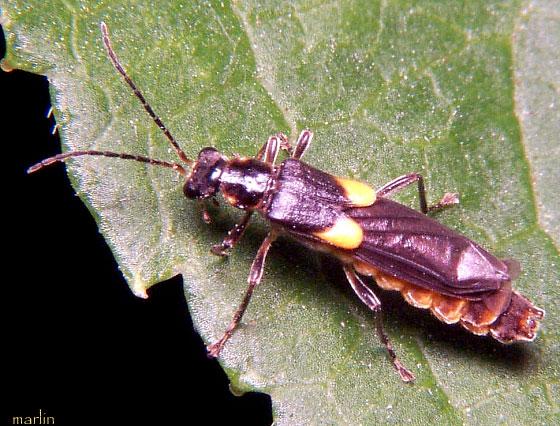 Cantharidae - Trypherus frisoni - female
