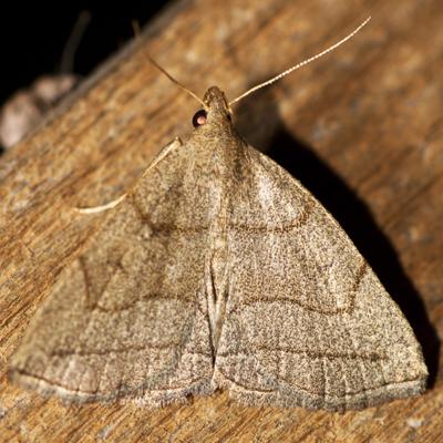 Grayish Zanclognatha Moth - Hodges #8348 - Zanclognatha pedipilalis