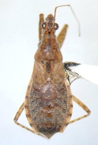 Bug - Hoplistoscelis sericans - female