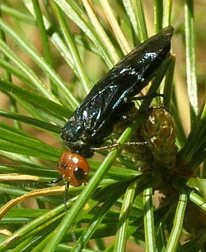 Embioptera Possibility - Acantholyda erythrocephala