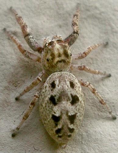 jumping spider - Bagheera prosper - female