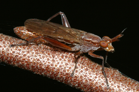 Marsh Fly - Sepedon fuscipennis