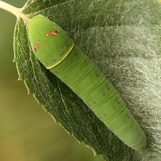 Western Tiger Swallowtail Caterpillar - Papilio rutulus