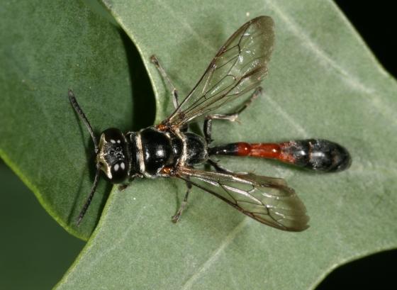 wasp 1 - Trypoxylon
