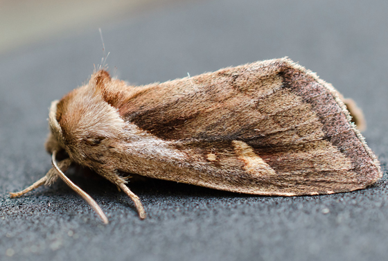 Brown moth - Bellura densa