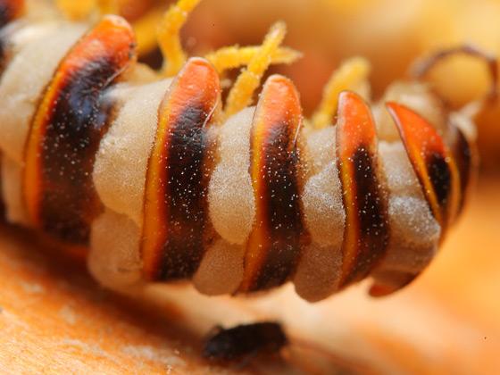 Apheloria virginiensis fungus - Apheloria virginiensis