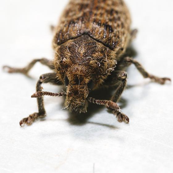Rhinocyllus conicus? - Rhinocyllus conicus