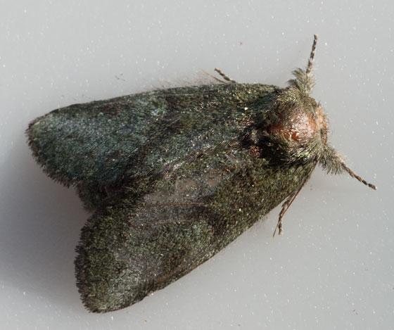 moth - Heterocampa guttivitta