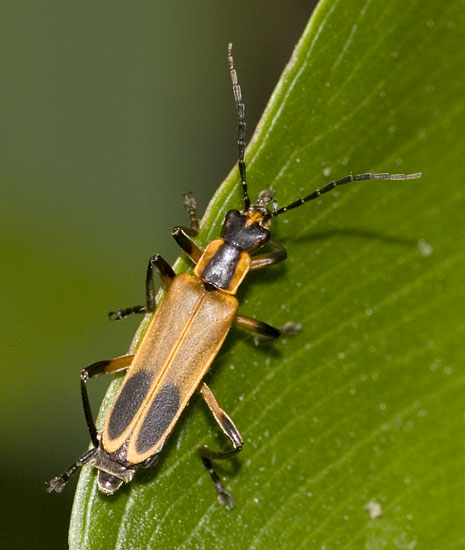 Margined Leatherwing - Chauliognathus marginatus