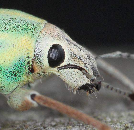 blue-green citrus root weevil - Pachnaeus litus