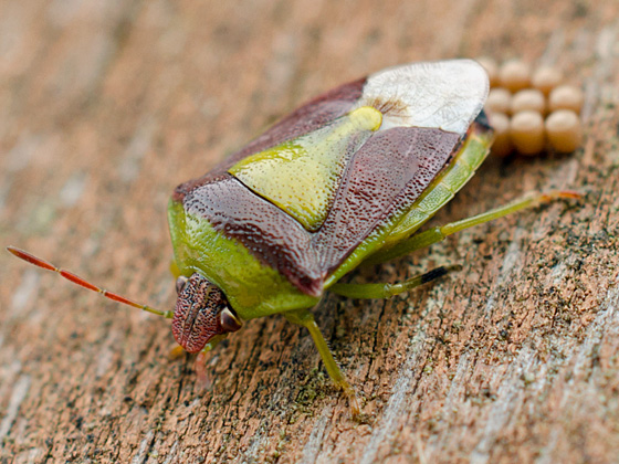 Red and green stink bug laying eggs - Banasa dimidiata - female