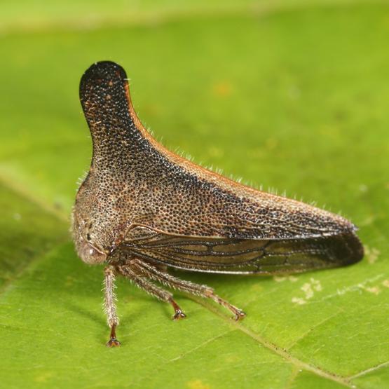 Glossonotus turriculatus? - Glossonotus turriculatus