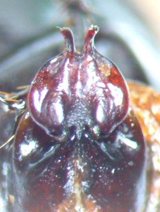 Phyllophaga hornii - female