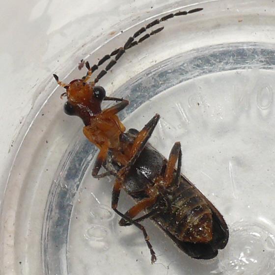 Soldier beetle - Dichelotarsus cinctipennis - male