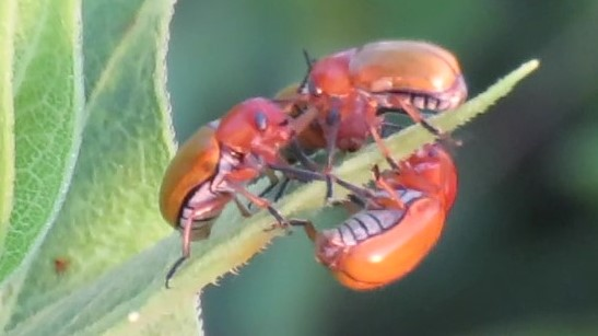 Beetles on Vetch and Rosinweed - Anomoea