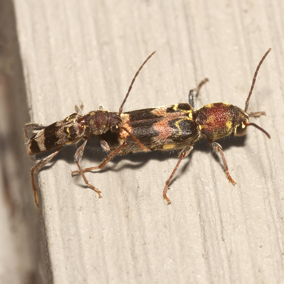 Rustic Borer Beetles - Xylotrechus colonus - male - female