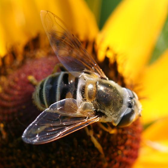 Syrphidae? - Eristalis stipator