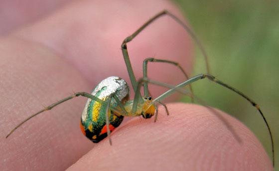 Mabel Orchard Spider 7 - Leucauge venusta