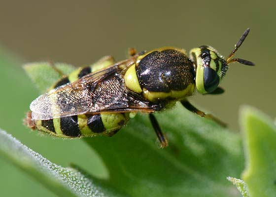 Soldier Fly - Psellidotus - female