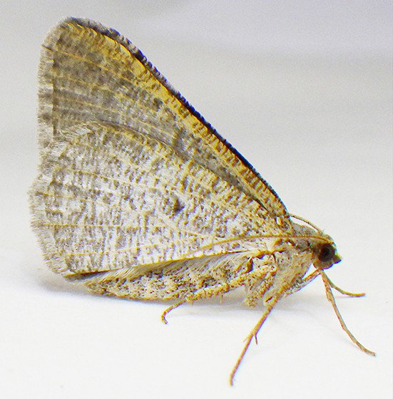 Moth - Lateral view - Digrammia delectata