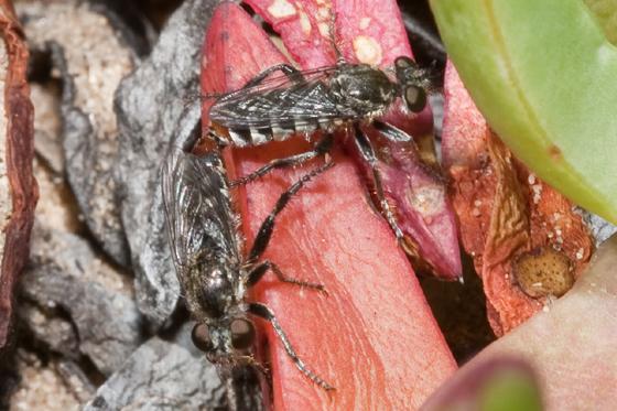 Asilid 1 - Zabrops wilcoxi - male - female