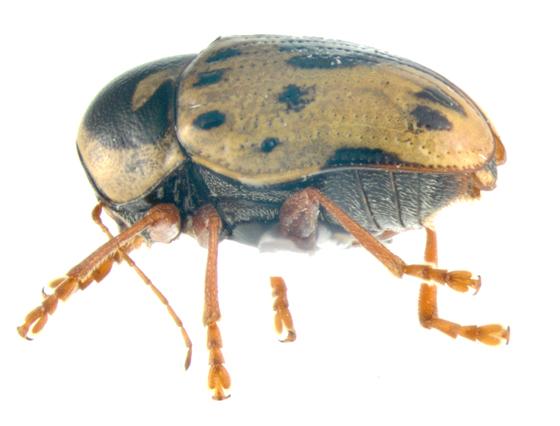 Chrysomelidae, lateral - Cryptocephalus mutabilis