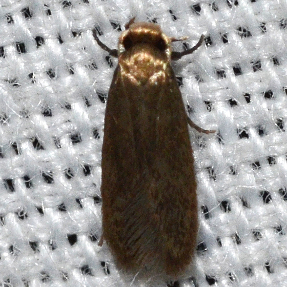 Hodges #0212 - Cauchas dietziella species group? - Phaeoses sabinella