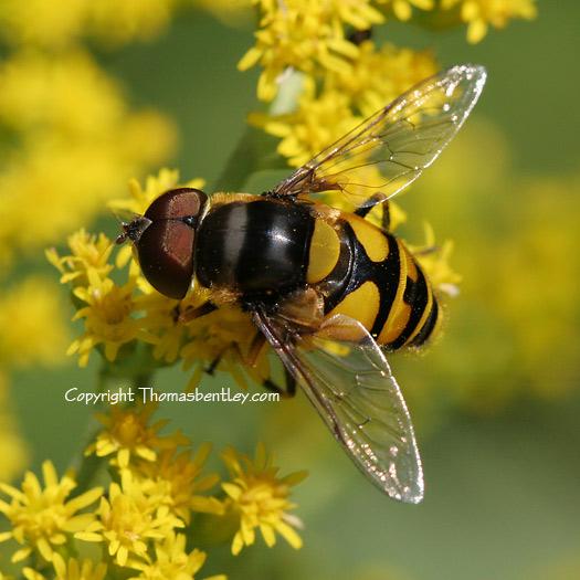 Syrphid Fly? - Eristalis transversa - male
