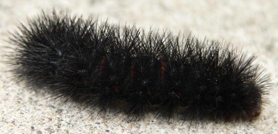 Dancing Caterpillar - Hypercompe scribonia