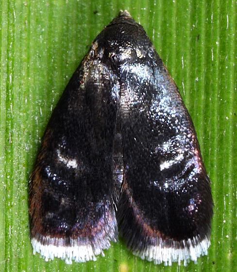 Moth ID - Menesta tortriciformella
