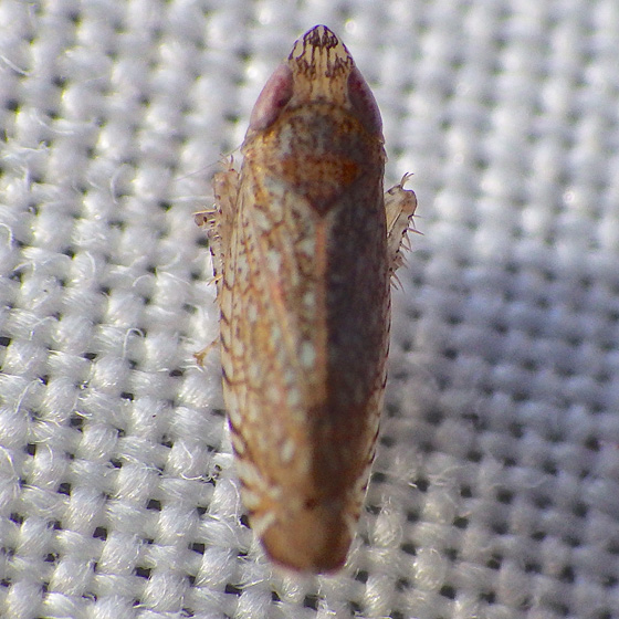 leafhopper ID please - Scaphytopius