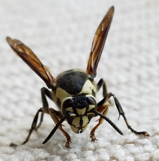 Dolichovespula maculata (Bald-Faced Hornet) - Dolichovespula maculata - female