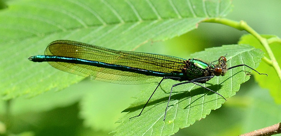 Superb Jewelwing - Calopteryx amata
