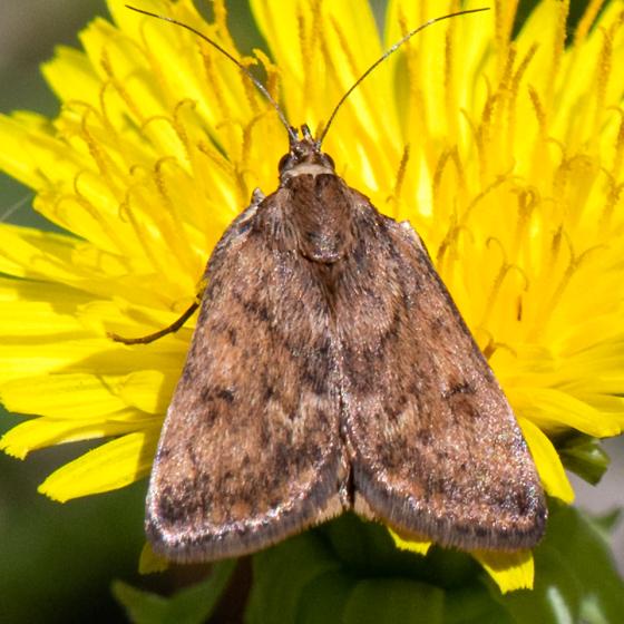 Loxostege thallophilalis