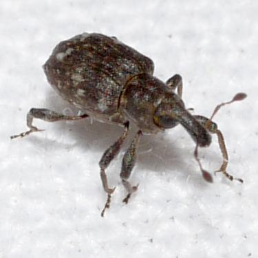 beetle - Bagous
