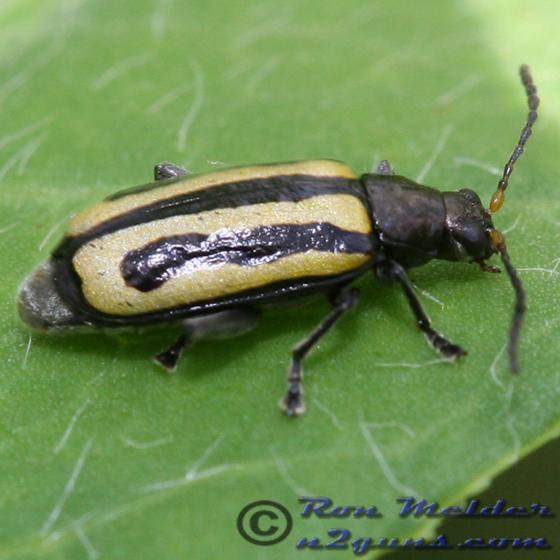 Alligatorweed Flea Beetle - Agasicles hygrophila