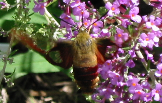 Hummingbird Clearwing - Hemaris thysbe