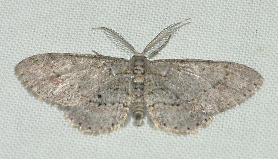 Texas gray moth - Glenoides texanaria - male