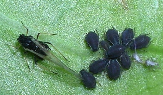 Is this an Aphid ? - Aphis