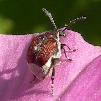 beetle - Megacerus coryphae - female