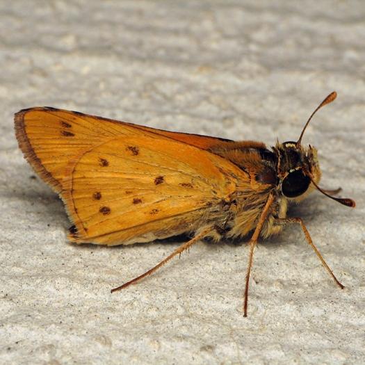 Skipper - Hylephila phyleus - male