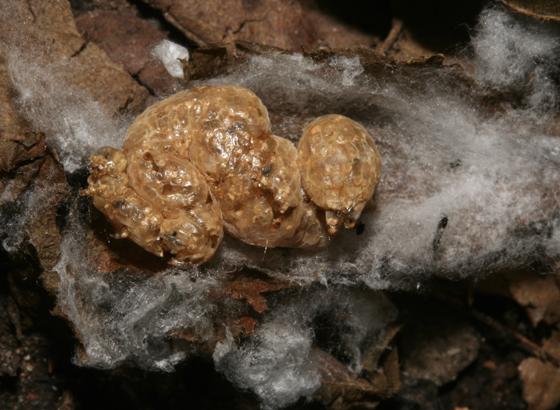 Plusiinae larva, looks like a mummy - Copidosoma