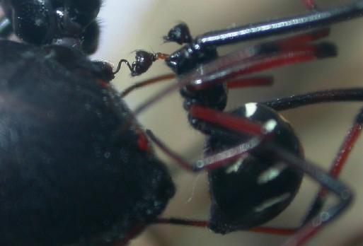 Latrodectus variolus - male - female