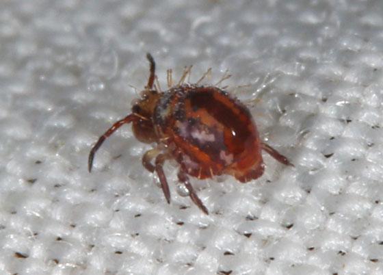 Symphypleona - Vesicephalus occidentalis