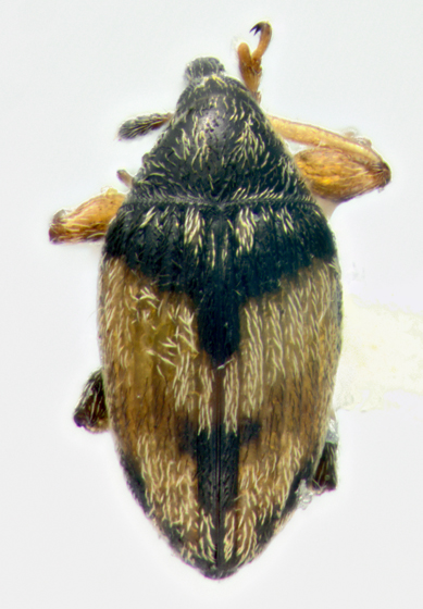 Brentidae, dorsal - Nanophyes marmoratus