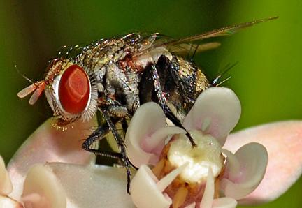 Tachinid on milkweed - Chetogena